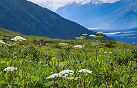 Cow Parsnip Heracleum lanatum flowering with wildflowers, Heath tundra near Hatcher Pass, Alaska,  Independence Mine State Historical Park
