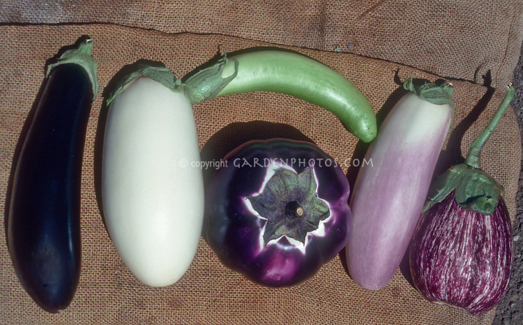 Eggplants variety of types vegetable harvest, including Lavender Touch, Green Goddess, Ichiban, Cloud Nine 9, Petoseed. White, purple, blush, pink, stripes, oval, teardrop, elongated, shapes and colors