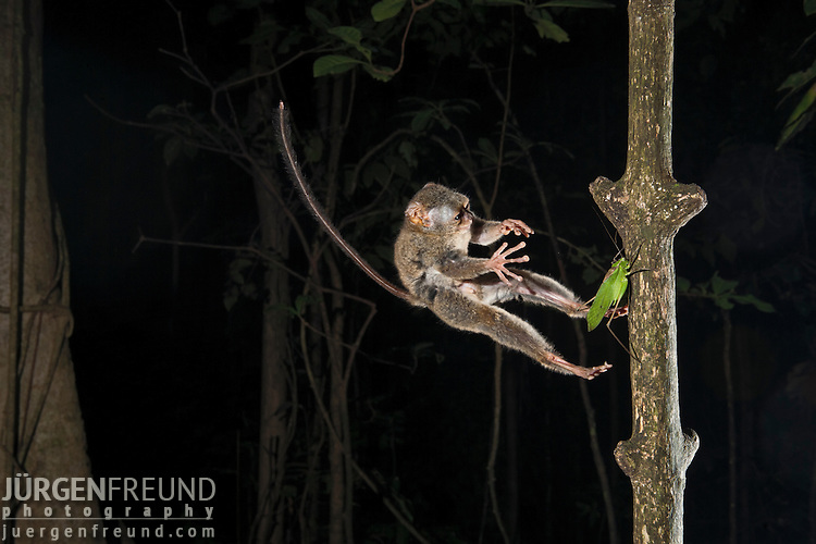 Spectral Tarsier jumping on a grasshopper, (Tarsius tarsier) in strangler fig tree which serves as sleeping shalter at daytime. Tarsier are insect eaters and hunt at night. They belong to the  smallest primates and only occur in Sulawesi, Borneo, Philippines and Sumatra.