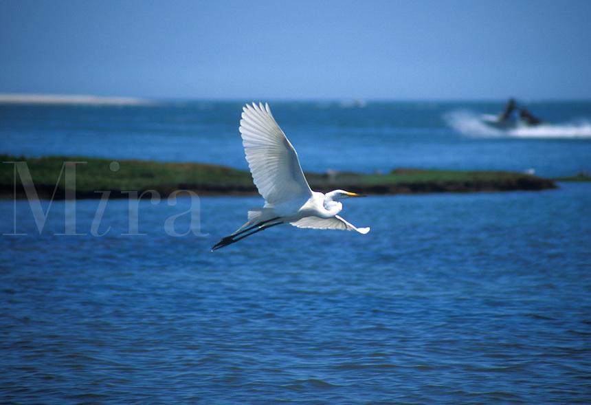 Egret in flight over bay of water.