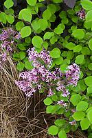 Lilac Syringa Red Pixie