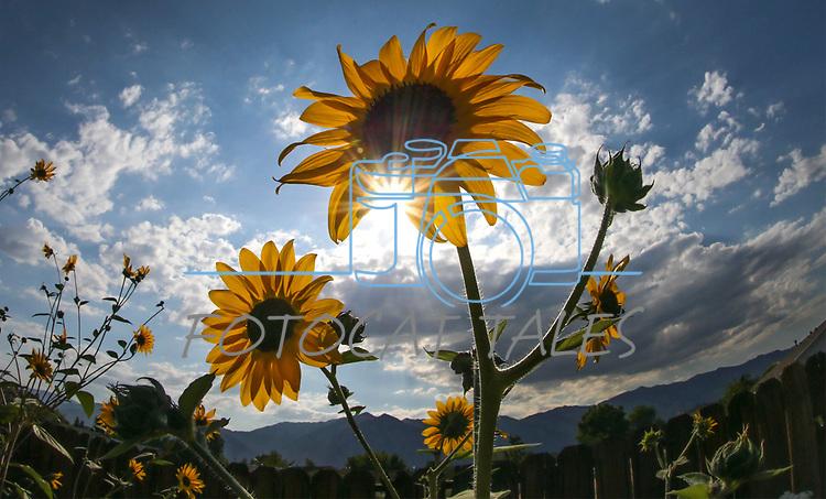 Sunflowers in the garden in Gardnerville, Nev., in Saturday, Aug. 26, 2017. <br />Photo by Cathleen Allison/Nevada Photo Source