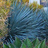 Dasylirion wheeleri Desert Spoon, South Coast Research and Extension Center; University of California ANR