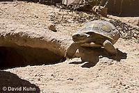 0609-1036  Desert Tortoise Near Entrance to its Burrow (Mojave Desert), Gopherus agassizii  © David Kuhn/Dwight Kuhn Photography