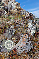 Lichen, Brooks Range mountains, Gates of the Arctic National Park, Alaska.