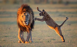 It's Lion Spring! Lion cub springs towards dad by Jie Fischer