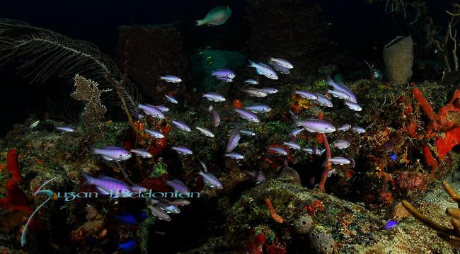 Creole Wrasse, Clepticus parrae, juveniles, MV Caster Wreck; Florida; USA; Amazing Underwater Photography; Marine behavior