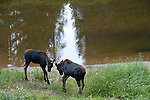 moose, pair, calves, sparring, Alces alces, browsing, wetland, wildlife, mammal, ungulate, Colorado River, water, reflection, summer, August, nature, evening, Kawuneeche Valley, Rocky Mountain National Park, Colorado, USA