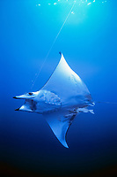 sickle-fin devil ray, Mobula tarapacana, hooked on longline, accidental by-catch of longline shark fishing, 320 miles off Costa Rica, Pacific Ocean