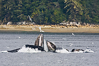 "a group of seven adult humpback whales, Megaptera novaeangliae, co-operatively ""bubble-net"" feeding, Tenakee Inlet, Chichagof Island, Alaska, USA, Pacific Ocean"