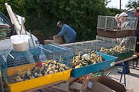 Entenküken, Enten, Hausenten, Landenten, Küken werden auf einem Geflügelmarkt, Geflügelbörse, Tiermarkt, Tierhandel zum Kauf angeboten