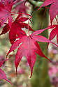 Acer palmatum 'Red Emperor', early November. A Japanese maple similar to 'Bloodgood' but with more intense colour. Leaves appear later so are less liable to early frost damage.
