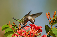 Anna's Hummingbird (Calypte anna).  I believe this is and immature male in September.