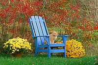 Tabby tiger cat sitting in blue adirondack chair in the fall garden framed by bright holly trees and blooming mum flowers, midwest USA