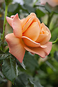 Rosa Susie ('Harwhistle'), shortlisted for Plant of the Year at the RHS Chelsea Flower Show, 2015.