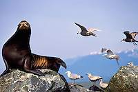 California Sea Lion (Zalophus californianus) and Sea Gulls basking on Rocks in Sun, Mouth of Fraser River, Richmond, BC, British Columbia, Canada