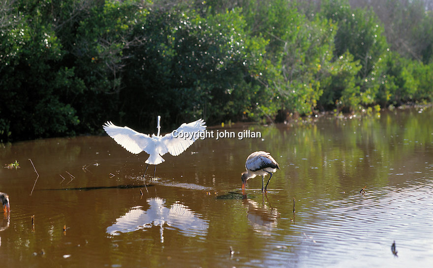 Birds wading in the water in the Everglades.