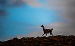 Chile, Patagonia, guanaco (Lama guanicoe)