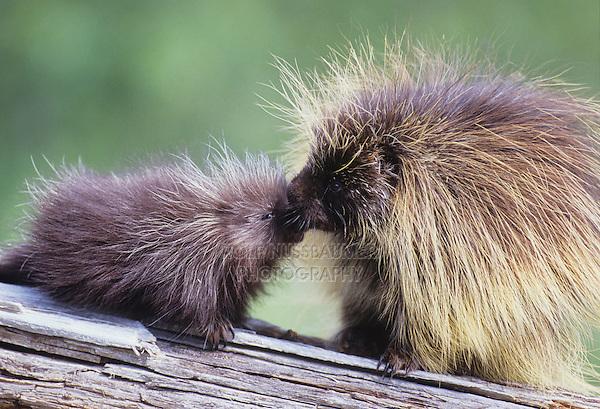 North American Porcupine (Erethizon dorsatum), mother kissing young, captive, USA