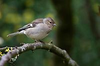 Common Chaffinch (Fringilla coelebs gengleri), female in Queens Park, Invercargill, Southland, New Zealand.