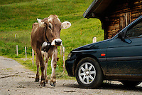 Swiss brown cow...Cowherd and cheesemaker spends 100 days in the summer, high up in the mountains, tending cows and pigs and making cheese at Balisalp and Käserstatt near Meiringen, Switzerland.