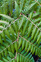 A close-up of a fern branch seen during a hike, Kohala Forest, Island of Hawai'i.