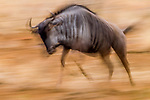Blue Wildebeest (Connochaetus taurinus) running, Kruger National Park, South Africa