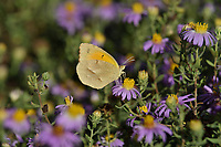 Sleepy Orange (Eurema nicippe), Hill Country, Texas, USA