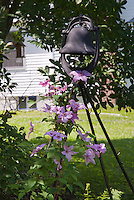 Climbing pink Clematis vine, ornamental garden bell, shade, house, under the tree,