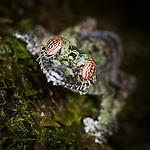 Mossy Leaf-tailed Gecko (Uroplatus sikorae). Forest understorey at night. Masoala National Park, Madagascar.