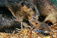 American Beaver mother with young (Castor canadensis) inside lodge.