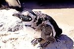 African Penguin Fledgling