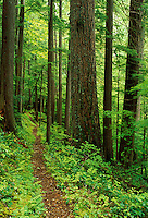 Trail through old growth forest, Downey Creek Trail, Cascade Mountains, Washington