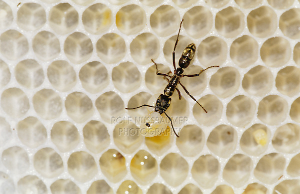 Ant, Formicidae, ant on bee hive with bee larva as prey, The Inn at Chachalaca Bend, Cameron County, Rio Grande Valley, Texas, USA, May 2004