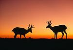 Sunset silhouette of black-tailed or mule deer bucks, Olympic National Park, Washington, USA