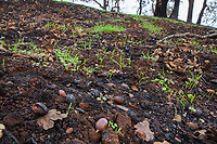 Oak tree acorn sprouting in blackened ashes; Fire damage and recovery from Nuns fire October 2017, Sonoma Regional Park, California