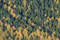 Herbstwald:DEUTSCHLAND, SCHLESWIG- HOLSTEIN 30.10.2005:Sachsenwald,  Nadelbaeume, Laerchen und Tannen, Herbst, Laubfaerbung