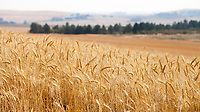 Field of golden yellow wheat, Davenport, Eastern Washington, WA, USA.