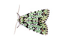 Scarce Merveille du Jour moth (Moma alpium) photographed on a white background. This species is well camouflaged on lichens. Hampshire, UK. May.