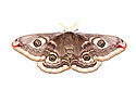 Emperor moth female {Saturnia pavonia}, photographed on a white background. Peak District National Park, UK. April.