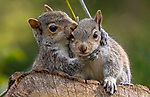 Squirrel appears to be hugging his freind Brett Pearson