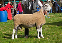 Kelso Ram Sale 2018<br /> Lot 177   bfl 6500gns Firm John Dyke, South Slipperfield<br /> ©Tim Scrivener Photographer 07850 303986<br />      ....Covering Agriculture In The UK....