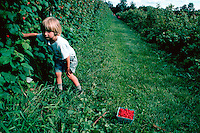 A young boy looks for raspberries in this lush, green summer garden. Vermont.