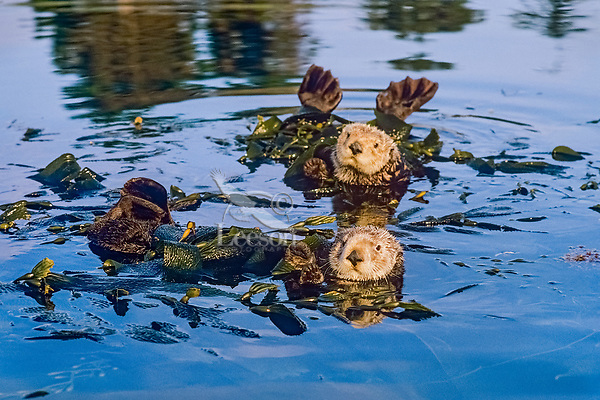 Southern Sea Otters (Enhydra lutris nereis) resting in kelp.  California Coast.  Being tied up in the kelp keeps otter from drifting away while it rests, with the tide, wind or other currents.