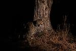 Cheetah (Acinonyx jubatus) male at scent-marking tree at night, Kafue National Park, Zambia