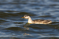 Juvenile Western Grebe (Aechmophorus occidentalis). Malheur County, Oregon. September.