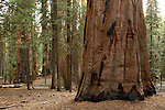 Giant Sequoia (Sequoiadendron giganteum) tree in forest, Sierra Nevada, Sequoia National Park, California