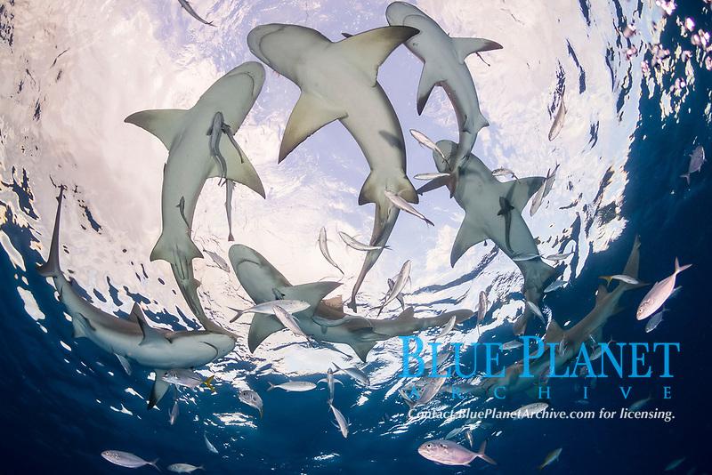 lemon shark, Negaprion brevirostris, with remora, Bahamas, Caribbean Sea, Atlantic Ocean