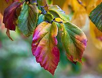 Parrotia persica (Persian Ironwood) leaves in fall color