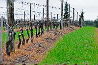 A vine that has recently been pruned. The cut has been painted with a white substance that will protect it from being attacked by diseases, mould and other. Trained in Guyot simple. Bodega Vinos Finos H Stagnari Winery, La Puebla, La Paz, Canelones, Montevideo, Uruguay, South America